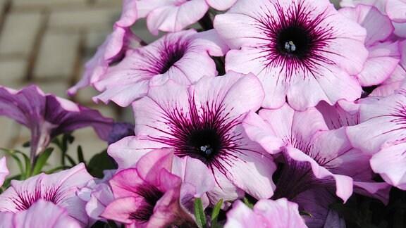 Eine Petunie mit trichterförmigen Blüten in hellem Lila mit dunkelvioletter Mitte.