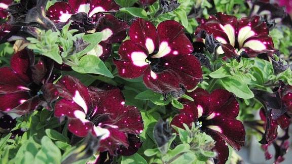 Eine Petunie der Sorte Lightning Sky mit trichterförmigen, fast schwarzen Blüten, die hellgelbe Punkte und Streifen haben.