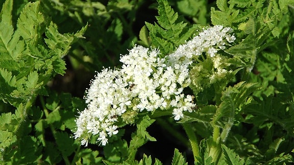 Weiße Blüten der Süßdolde und gefiedertes Laub der Pflanze.