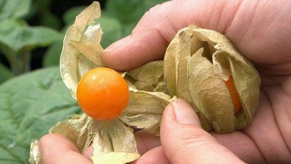 Hände halten Physalis-Früchte und zeigen im inneren der Schale die orangefarbene Frucht.