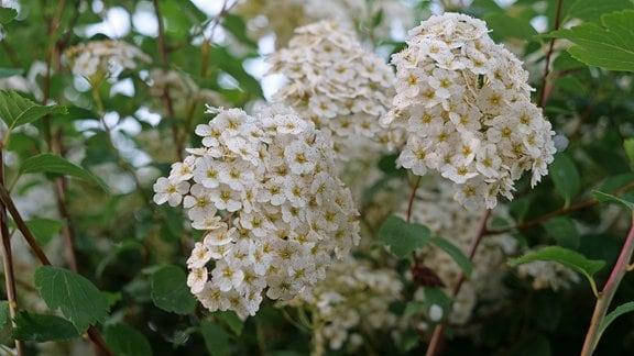 Weiße Blüten eines Prachtspieren-Strauchs