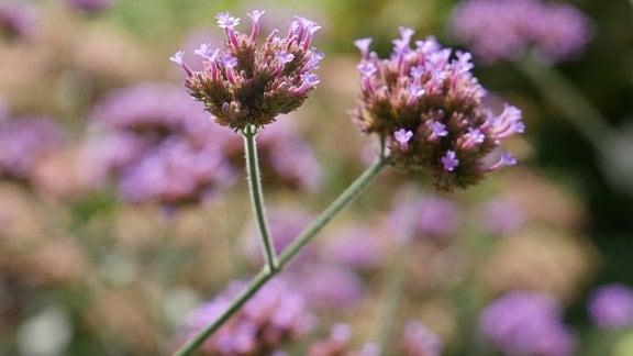 Lila Blüten vom Eisenkraut.