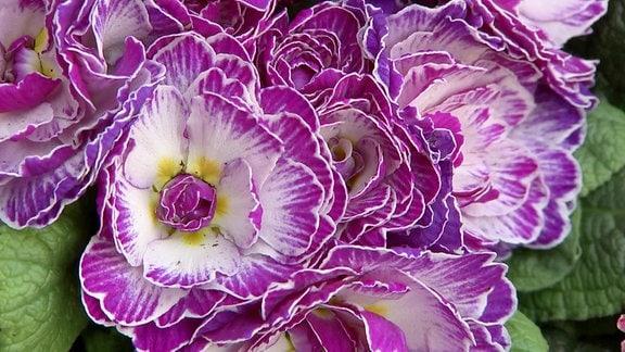 Eine lilafarbene Rosenprimel