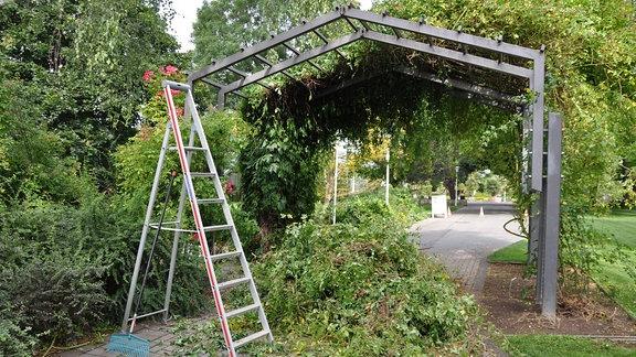Eine Rambler-Rose der Sorte Kiftsgate an einem Rankgerüst im egapark Erfurt nach dem radikalen Rückschnitt