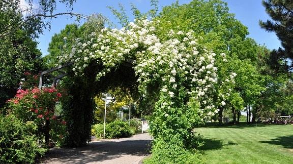 Eine weiß blühende Kletterrose der Rambler-Sorte Kiftsgate an einem Rankgerüst im egapark Erfurt