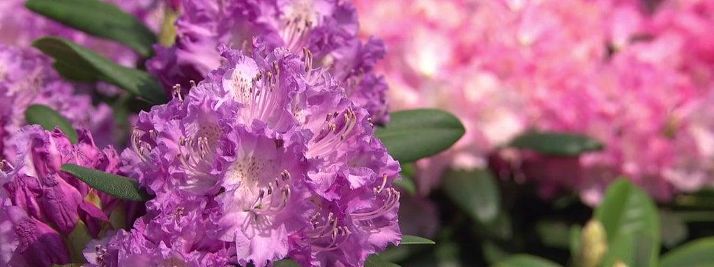 Beliebt Bevorzugt Rhododendron richtig pflanzen und pflegen | MDR.DE #ZP_11