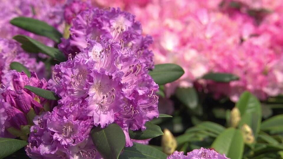 Rhododendron richtig pflanzen und pflegen mdr de for Rhododendron pflanzen
