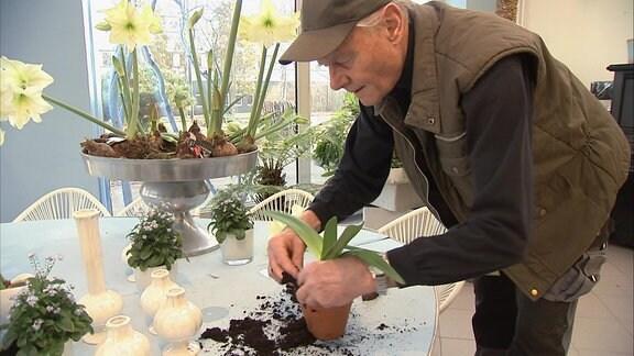 Mann pflanzt Ritterstern-Zwiebel in Töpfchen ein