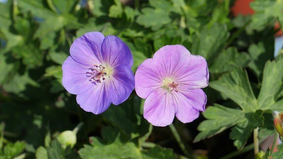 Zwei blaue Blüten