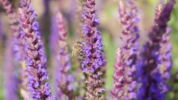 Eine Biene sitzt auf einer Salbeidolde