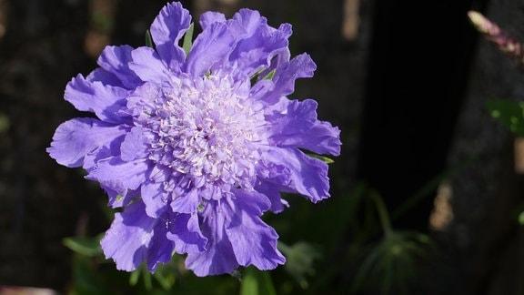 Eine gefüllte blaue Blüte
