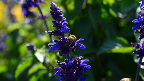 Eine Biene sitzt auf einer lila Salbei-Blüte