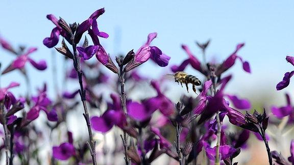 Eine Biene fliegt auf eine lila Salbei-Blüte zu