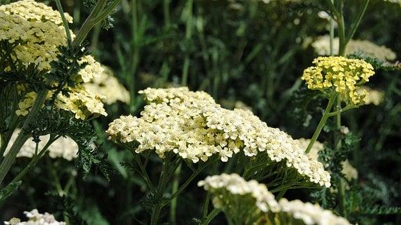 Weiß und gelb blühende Schafgarbe