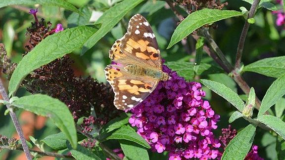 Ein Schmetterling sitzt auf einer Blüte des Schmettelingsflieders