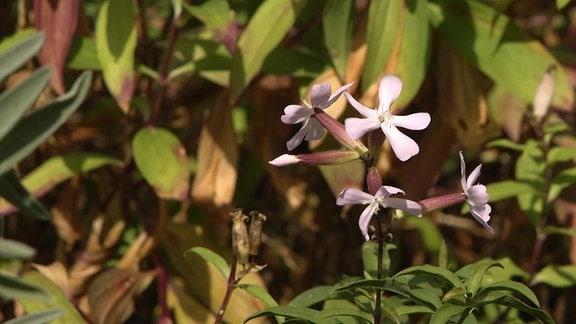 Rosa-weiße Blüten an einer Pflanze im Garten