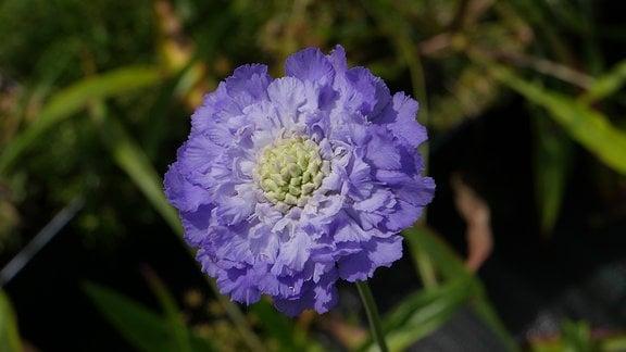 Eine pomponartige lila Blüte.