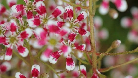 Rot-weiße Blüten der Saxifraga 'Slack's supreme'.