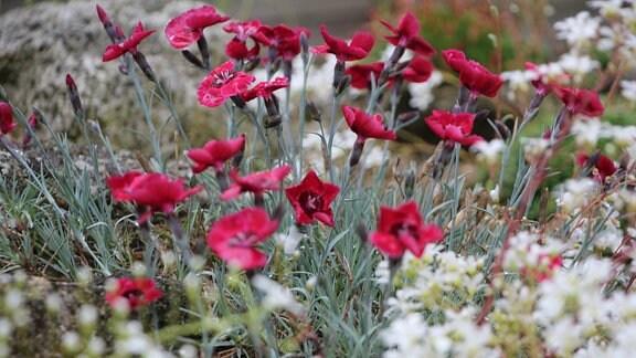 Dianthus red dwarf mit roten Blüten.