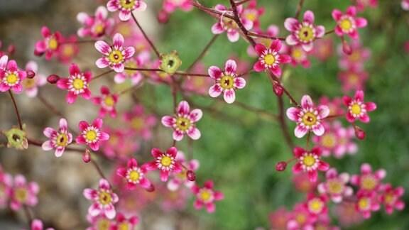 Saxifraga Arendsii mit pinken Blüten.