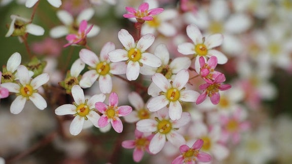 Saxifraga Monarch mit weißen bis rosa Blüten.