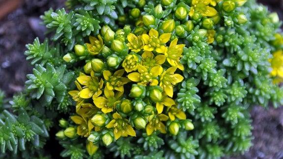 Steingartenpflanze Sedum-acre