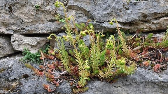 Eine Sedumpflanze (Fetthenne/Mauerpfeffer) wächst in einer Trockenmauer