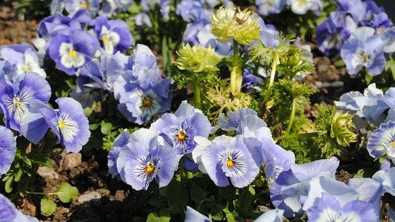 Beet mit weiß-blau blühenden Stiefmütterchen