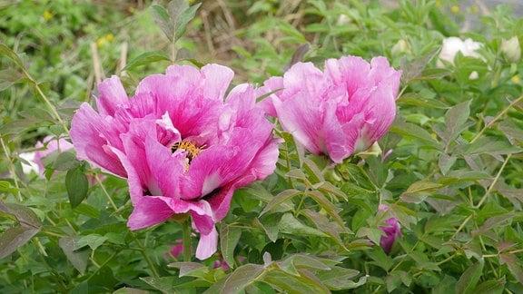 Zwei große rosa Blüten der Strauchpfingstrose 'Paeonia suffruticosa'.