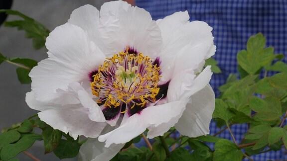 Weiße Blüte mit schwarzem Basalfleck der Strauchpfingstrose 'Paeonia x rockii'.