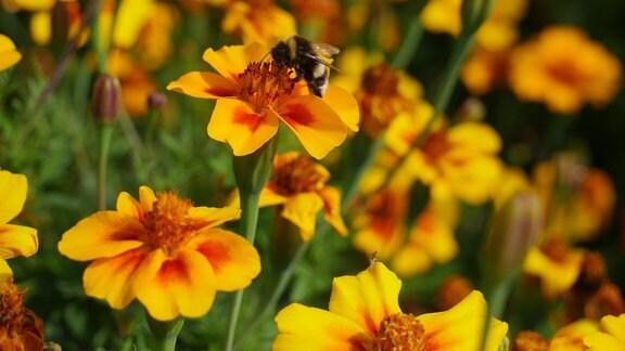 Orange-rote Blüte der Tagetes patula 'Naught Marietta' mit Hummel.