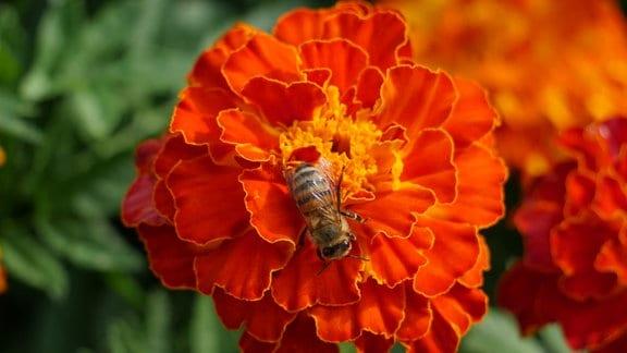 Rote Blüten einer Tagetes patula 'Red Cherry' mit Biene.