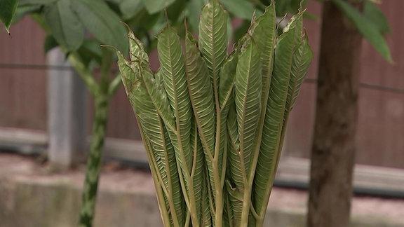 Die Kübelpflanze Teufelszunge in einem Topf