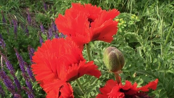 Rote Blüten einer Mohn-Pflanze der Sorte Türkenlouis
