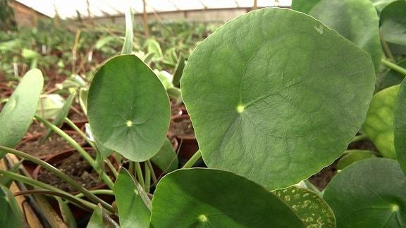 Die Blätter einer Ufopflanze