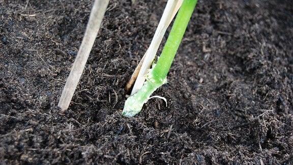Veredelungsstelle einer veredelten Gurkenpflanze