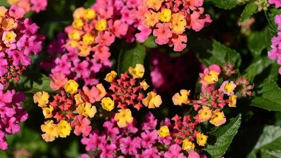 Rosa und orangene Blüten des Wechselröschens
