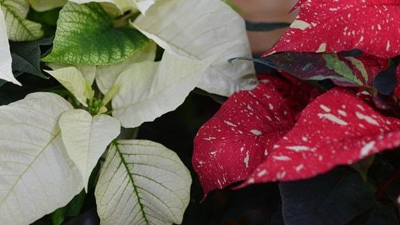 Roter und weißer Weihnachtsstern