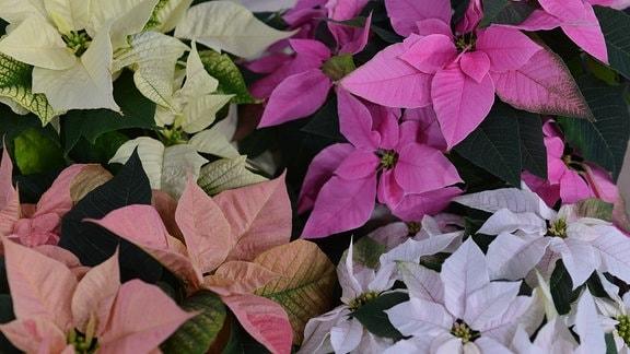 Weihnachtssterne in verschiedenen Farben