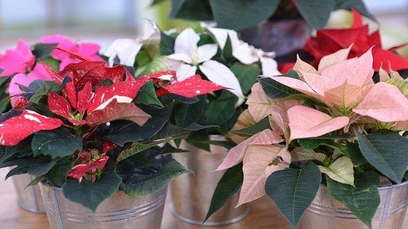 Weihnachtssterne in verschiedenen Farben stehen auf einem Tisch