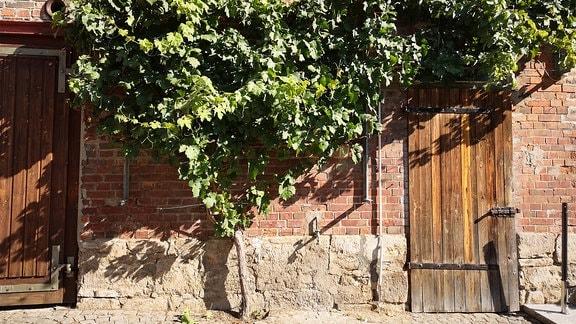 Ein Rebstock wächst an einer Hauswand