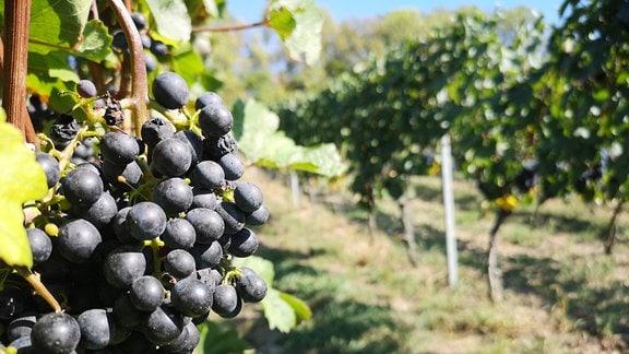 Rote Weintrauben hängen an einem Weinstock.