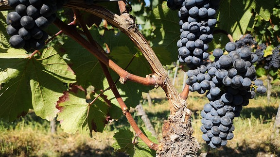 Tafeltrauben selbst anbauen mdr de for Weintrauben im garten anbauen