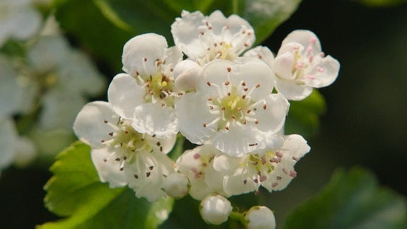 Blüten eines zweigriffeligen Weißdorns