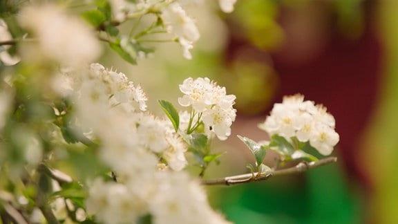 Weißdorn-Blüten an Zweigen
