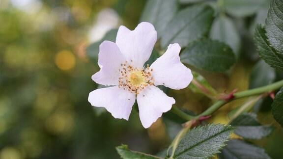 Die weiße ungefüllte Blüte einer Wildrose