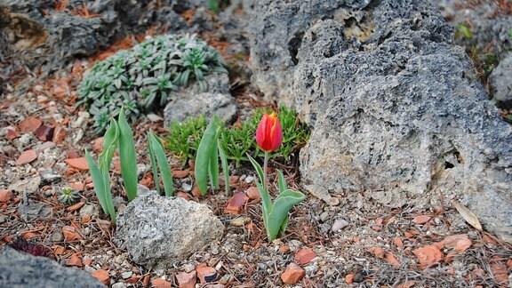 Kleine Tulpe in einem Steingarten