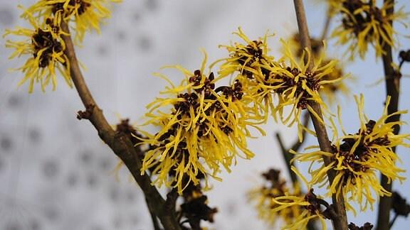 Gelbe Blüten an einem Strauch