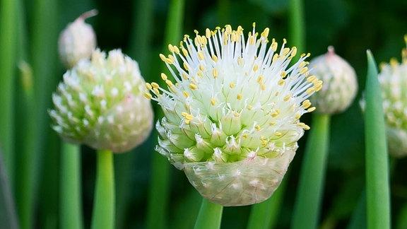 Winterheckenzwiebel, Allium fistulosum