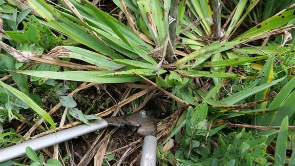 Entfernen eines Blütenstandes vom Vorjahr an Yucca-Pflanze